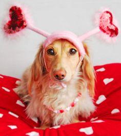 x Miniature Long Haired Dachshund Valentine x #fluffycatsbreedslonghair