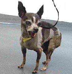 URGENT -***NEGLECTED/ EMACIATED*** 18-15755 is a chihuahua black/white, male adult dog, that weighs approximately 4 lbs. for adoption or rescue in CA