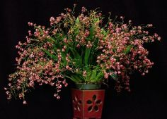Oncidium Twinkle 'Pink Profusion' orchid The Orchid Gallery   an easy to grow Blooming Size orchid. Anybody can grow these orchids successfully, and once they reach maturity, they can produce just clouds of little pink flowers. Some award winners have had almost 500 flowers open at once.The breeding is Oncidium cheirophorum x Oncidium ornithorhynchum.  Medium light and water are best, fertilize weakly twice a month. Water when almost dry, but don't allow to dry out completely.