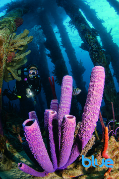 Lavender tube sponge at Salt Pier, Bonaire, Dutch Caribbean