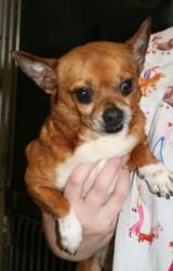 Nacho is an adoptable Chihuahua Dog in West Columbia, SC. Nacho is an 8 year (2005) old male Chihuahua. He is extremely outgoing and friendly. He is a wonderful little lap dog who is good with other ...