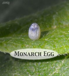 The top third of a monarch egg will turn dark shortly before the baby caterpillar hatches. This is the caterpillar's head about to eat through its shell to enter the next stage of monarch metamorphosis. Butterfly Life Cycle, Butterfly House, Monarch Butterfly, Caterpillar Eggs, Monarch Caterpillar, Butterfly Garden Plants, Hummingbird Garden, Plant Cuttings, Beautiful Butterflies