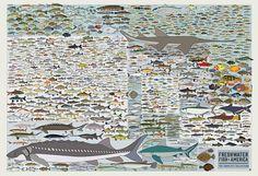 Pop Chart Lab | Design + Data = Delight | Freshwater Fish of America