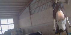 WATCH: Graphic Footage Of Animal Abuse At DiGiorno Supplier Farm