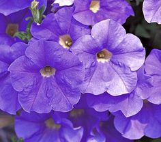 petunia 39 surfinia sky blue 39 blooms are an incredible blue and appear to light up in early. Black Bedroom Furniture Sets. Home Design Ideas