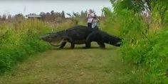 Un caimán gigante aparece en Florida | La nube de algodón