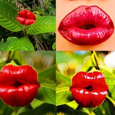 Cheap plants for homes, Buy Quality bonsai pot plant directly from China flower seeds Suppliers: Red Lips Flower Seeds Rare Flower Pots Psychotria Elata Flower Seeds 100 pcs / bag bonsai pot plant for home garden Orchid Seeds, Flower Seeds, Flower Pots, Flower Bookey, Flower Film, Cactus Flower, Rare Flowers, Unique Flowers, Bonsai Seeds