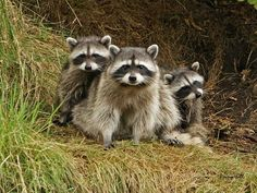 North American Raccoons by Penny Hall Photography @ Flickr - Photo Sharing!