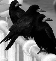 Three Wise Rooks by Adrian Williams. ☚