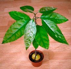 дерево авокадо - Поиск в Google