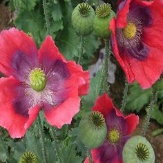 200+ Poppy Hens and Chickens Flower Seeds , Under The Sun Seeds