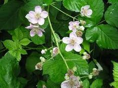 Image result for blackberry bush and flowers