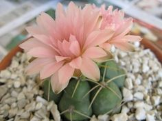 Idea Of Making Plant Pots At Home // Flower Pots From Cement Marbles // Home Decoration Ideas – Top Soop Succulents In Containers, Cacti And Succulents, Cactus Plants, Echeveria, Desert Plants, Cactus Y Suculentas, Flower Pots, Planting Flowers, Beautiful Flowers