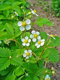 Fragaria vesca (Woodland Strawberry), Rosaceae groundcover, part-shade/shade, dry/moist