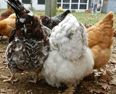 When a hen goes broody, she'll pull out her breast feathers so that her skin is in contact with the eggs. If you have a bad-tempered, bare-c...