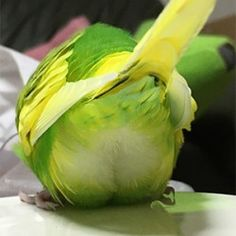 Familiar view. Ready for any emergency this Budgie is wearing clean matching underwear. 鳥フォトコンテスト「ぴーち」さん