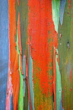 Rainbow eucalyptus tree bark