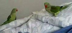 LOST ALEXANDRINE: 29/02/2016 - Wynnum, Queensland, QLD, Australia. Ref#: L23366 - #ParrotAlert #LostBird #LostParrot #MissingBird #MissingParrot #LostAlexandrine #MissingAlexandrine
