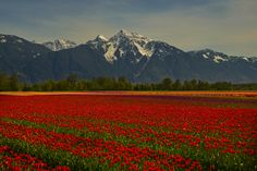 tulips and mt cheam by Mark Bowen - Photo 128163315 - 500px