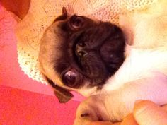 My Percy - Pug in webcam!