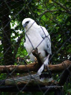 Gavilan Blanco - White Hawk