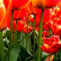 #tulips #flowers #Vancouver   iphoneography by NikNaz K.