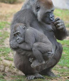 Monroe, a 2-and-a-half-year-old gorilla, is such a mama's boy. Here, he is seen clinging onto his mother at the San Diego Zoo. Even though Monroe might seem a bit old to be so attached to his mother, gorillas have been known to nurse for up to three years.