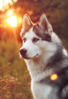 cute husky photo face