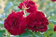 Dame de Coeur…long lasting cut flower and velvety leaves…lovely scent too!