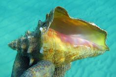 Live juvenile queen conch, Grand Cayman by Hawkfish, via Flickr
