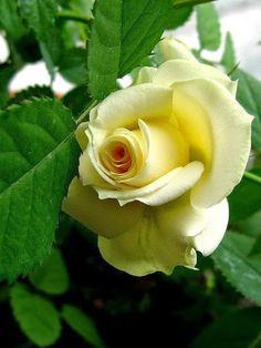 Beautiful lemon color and unusual bud shape .