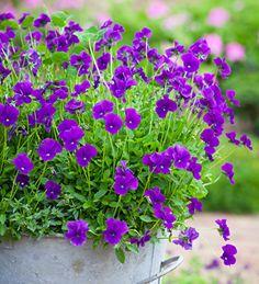 Viola 'Martin', bloeit non-stop van april tot oktober. In de winter blijft het blad groen.