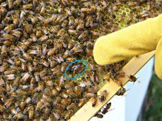 To a new beekeeper differentiating a drone from the queen can be a little confusing. I remember the first time we did a hive inspection with our first colo