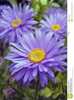 Striking Daisy-like Purple Flowers The Aster 'Professor Kippenburg', Aster novae-angliae, has beautiful vivid purple Daisy-like flowers that cover the plant. The flowers are wide making it a definite showstopper.