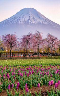 Beautiful picture. Japanese Nature, Japanese Landscape, Flower Landscape, Beautiful Sunset, Beautiful World, Beautiful Images, Monte Fuji Japon, Mont Fuji, Spring Aesthetic