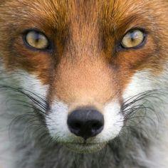 Red Fox by Ruben Smit