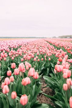 Pink tulips by Jovana Rikalo - Spring, Tulip - Stocksy United Pink Tulips, Tulips Flowers, Flowers Nature, Beautiful Flowers, Spring Wallpaper, Flower Wallpaper, Wallpaper Backgrounds, Iphone Wallpaper, Spring Aesthetic
