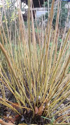 Kealkil Yellow. A short growing, stumpy, milky yellow rod. Great to add color. It dries to a peachy white