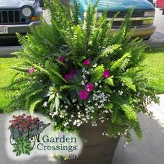 Container Gardening Ideas Nephrolepis Kimberly Queen - (Sword Fern) If you have a love for creating Container Flowers, Flower Planters, Container Plants, Garden Planters, Container Gardening, Flower Pots, Fern Planters, Planter Pots, Planter Ideas