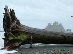 Sequoia, Redwood: Driftwood washed up on the beach at La Push, Clallam County, Washington
