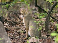 Wild Cat Species, Wildlife Of India, Spotted Cat, Jungle Cat, Snow Leopard, Cheetah, Small Cat, Animals And Pets, Wild Animals