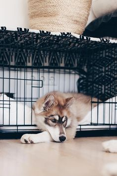 Angel, Mocca, Teddy - It's your turn! A day in the life of my dogs - Tiere - Puppies Siberian Husky Training, Siberian Husky Puppies, Husky Puppy, Siberian Huskies, Beautiful Dogs, Animals Beautiful, Husky Grooming, Husky Tumblr, Pet Dogs