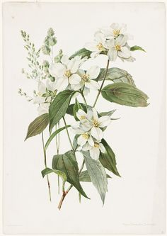 File name: 07_11_000441 Title: Mock Orange or Syringa Creator/Contributor: Lunzer, Alois (artist); L. Prang & Co. (publisher) Date issued: Copyright date: 1885 Physical description note: Genre: Chromolithographs; Still life prints Location: Boston Public Library, Print Department Rights: No known restrictions