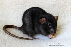 Rat - Radar by Joanne Laws