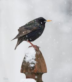 Starling in Spring Snow by psmith1 http://ift.tt/1CQhq8D