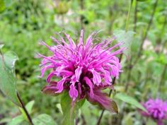 Fact About Bee Balm - on HGTV Very interesting history of the plant's uses during the colonial period! KF