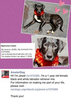 SAFE❤️❤️ 4/27/16 BY LOOKING GLASS ANIMAL RESCUE❤️ THANK YOU❤️ Manhattan Center My name is JEWEL. My Animal ID # is A1070366. I am a female black labrador retr mix. The shelter thinks I am about 1 YEAR I came in the shelter as a STRAY on 04/14/2016 from NY 10467, owner surrender reason stated was STRAY. http://nycdogs.urgentpodr.org/jewel-a1070366/