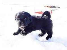 Photo's of Bernese Mountain dogs, golden retrievers, moyen poodle, puppies in alberta Bernese Mountain, Mountain Dogs, Moyen Poodle, Puppy, Doge, Gallery, Animals, Animais, Animales