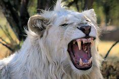 white_lion.jpg (1024×683)