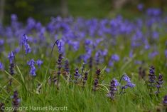 Wakehurst – walking on a bluebell planet Wildflowers, Horticulture, Planting, Nest, Planets, Walking, Landscape, Pictures, Style